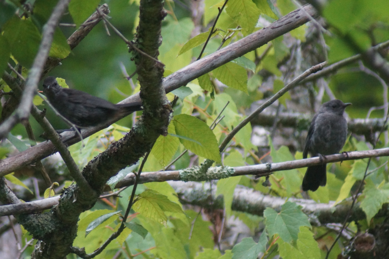 Birdwalk - Tanglewood at Mass Audubon Pleasant Valley - Feast of Music Jul 27  2017 Jul 27  2017  7-07 AM Jul 27  2017  8-08 AM Jul 27  2017  9-10 AM
